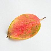 赤柿葉(小)   10�前後 20枚