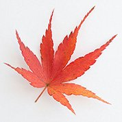 紅葉もみじ  満杯詰め