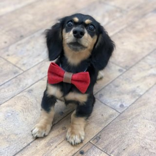 子犬・超小型犬用蝶ネクタイのベルトタイプ首輪