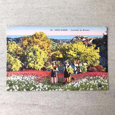 ポストカード コートダジュールのミモザ摘み 彩色写真