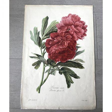 花のアートポスター プリントアート  赤い牡丹  ヴィンテージ