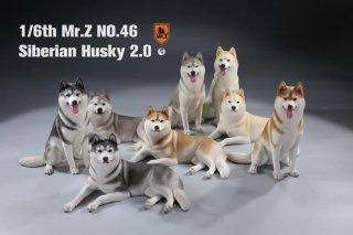 送料無料 1/6 MR.Z  MRZ046 シベリアン・ハスキー犬 2.0版